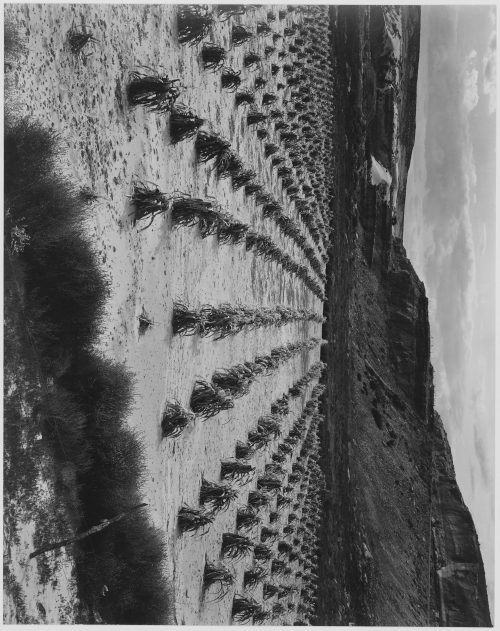 "Ansel Adams: Looking across rows of corn, cliff in background, ""Corn Field, Indian Farm near Tuba City, Arizona, in Rain, 1941."""