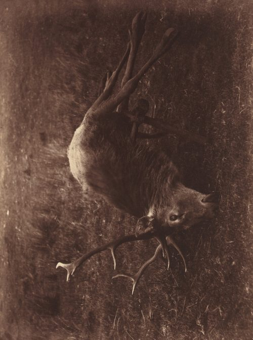David Octavius Hill and Robert Adamson: Dead Stag, 1857