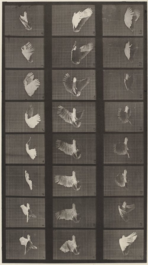 Eadweard Muybridge: Animal Locomotion, Plate 758, 1887