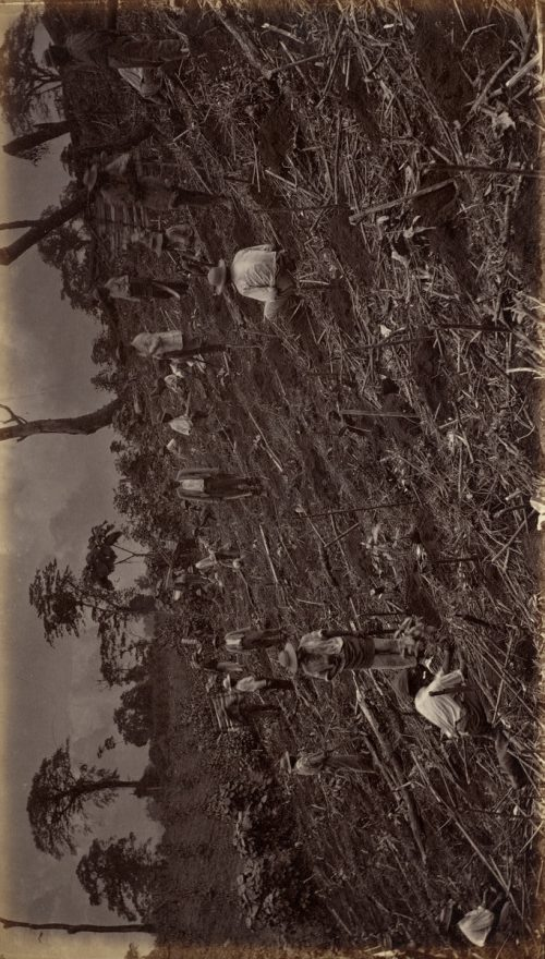 Eadweard Muybridge: Setting out a Coffee Plantation at Antigua de Guatemala, 1875