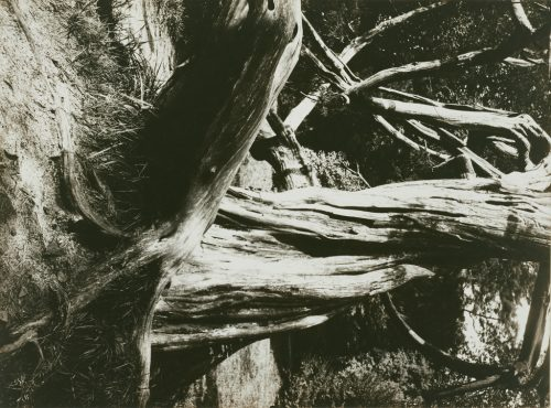 Eugène Atget: Pine Tree Trunks, Trianon