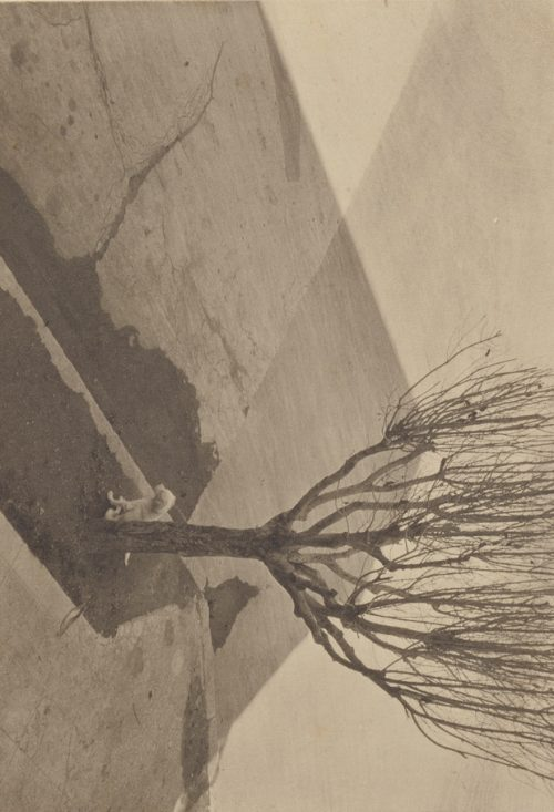 Tina Modotti : [Tree with Dog]