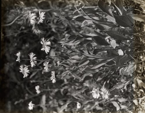 Frances Benjamin Johnston: [Aster (aster)]