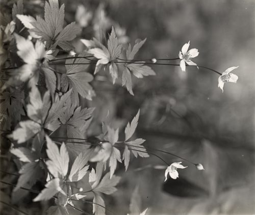 Frances Benjamin Johnston: [Wood anemone]