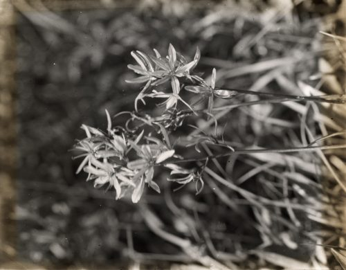 Frances Benjamin Johnston: [Wildflowers in bloom]