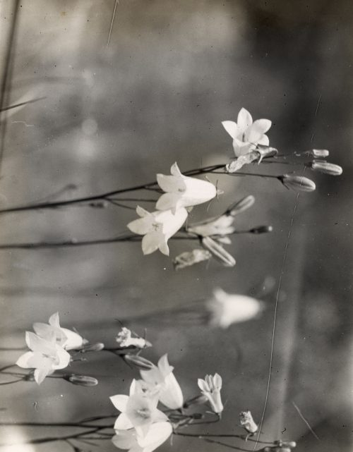 Frances Benjamin Johnston: [Bell Flower (campanula)]