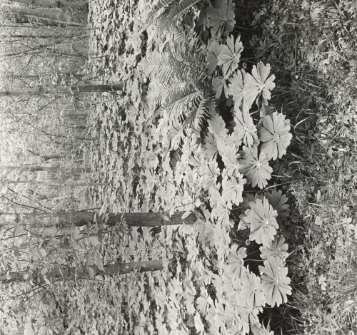 Frances Benjamin Johnston: [Mayapple (podophyllum)]